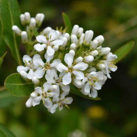 Escallonia Blanc (Escallonia Iveyi) - Godet - Taille 13/25cm