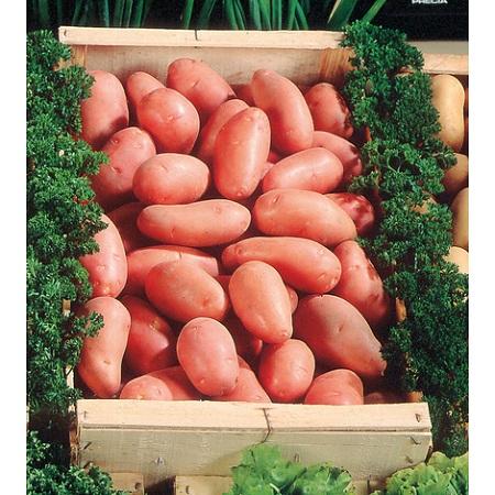Cómo elegir las patatas para sembrar