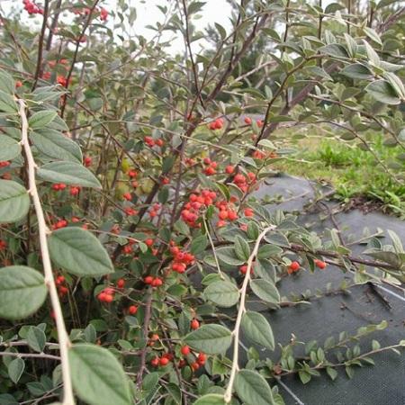 Arbres Et Arbustes Pour Balcons Et Terrasses Comment