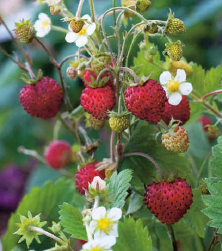 Gartentipps: Die Wahl einer Erdbeerpflanze