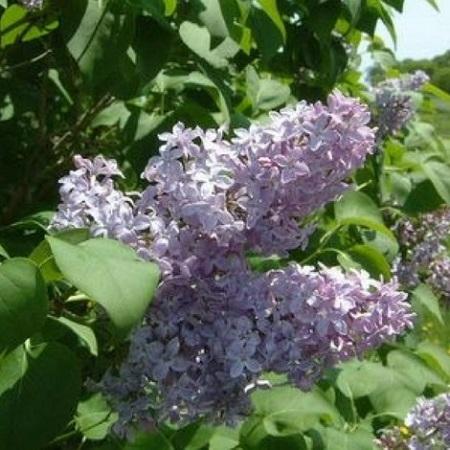 Arbusto Con Fiori Bianchi.Alberi E Arbusti Da Fiore Per Giardini