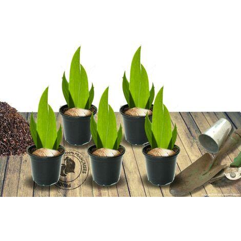 Iris des jardins Scintillant