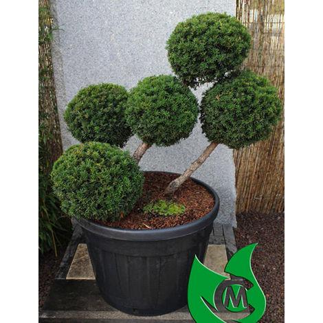 Japaneiben Bonsai - Taxus cuspidata `Rustique`