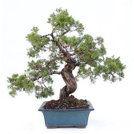 Juniperochinensis - 29 años - Bonsái