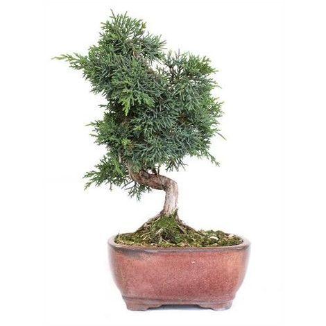 Juniperus chinensis - 12 años - Bonsái