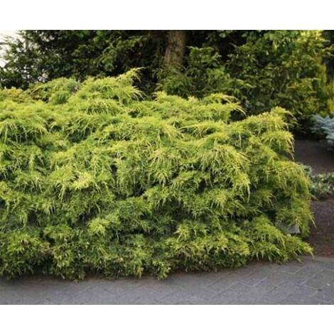 "Juniperus X Pfitzeriana Pfitz Aurea in vaso ø15 cm ""Ginepro Tappezzante"" perenne"