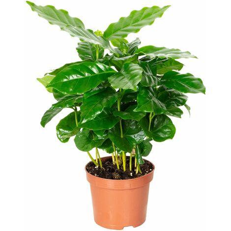 Kaffeepflanze - Höhe ca. 20 cm, Topf-Ø 9 cm - Coffea Arabica