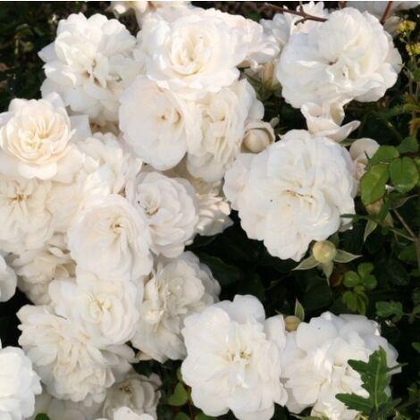 """main image of """"Kastelruther Spatzen Rose (Saphir) [Vaso Ø14cm]"""""""