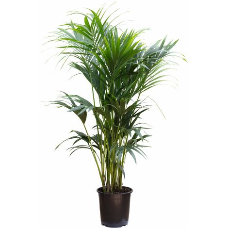 Kentiapalme 10 Triebe - Höhe ca. 160 cm, Topf-Ø 27 cm - Howea Forsteriana