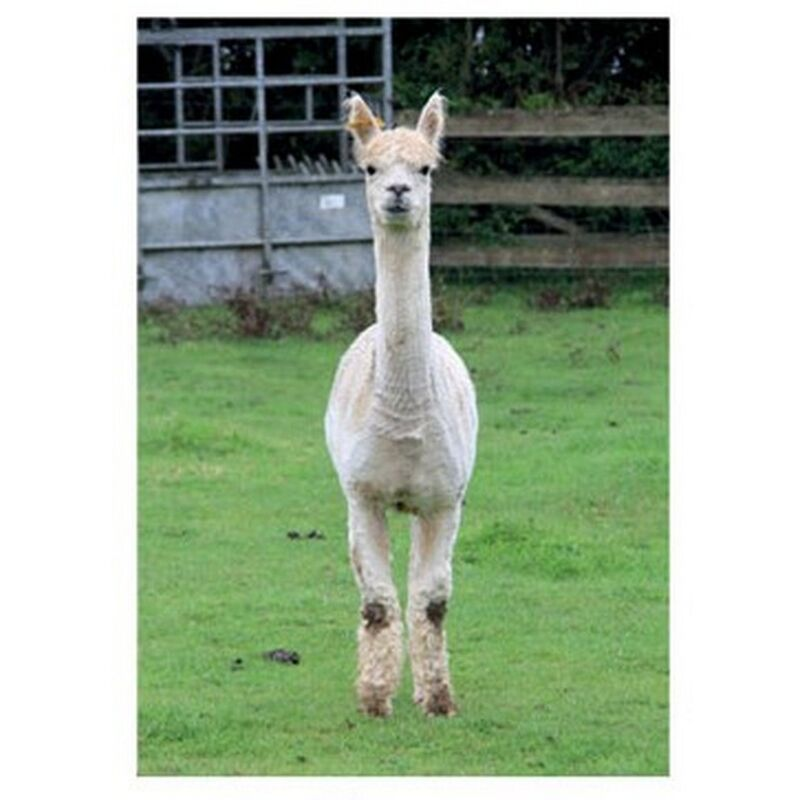 Image of Alpaca Countryside Greetings Card (One Size) (Multicoloured) - Kevin Milner
