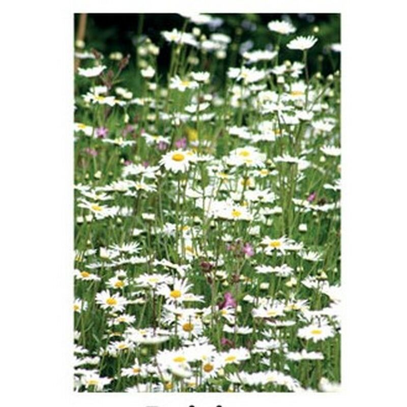 Image of Daisies Countryside Greetings Card (One Size) (White/Green) - Kevin Milner