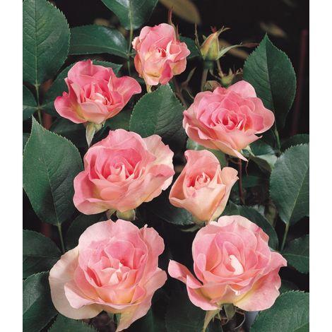 Kimono - Le rosier en motte - Rose - Rosiers polyanthas