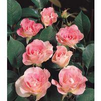 Kimono - Le rosier en motte - Rose - rosiers polyanthas pour massifs et bordures