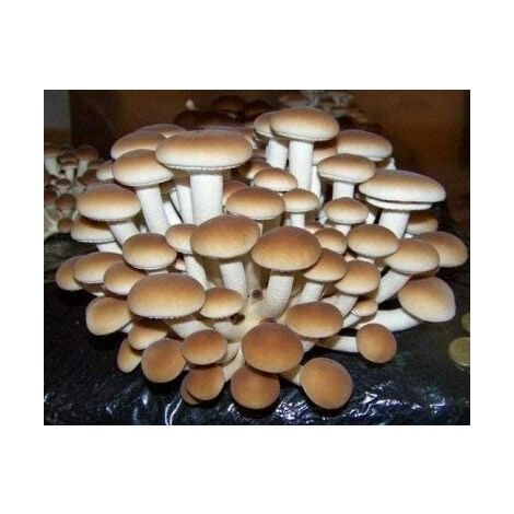 Kit 2 Pani Fungo Substrato di Funghi Pioppini Pioppino Facile Coltivazione da 5 lt Micelio Selezionato di Prima Scelta