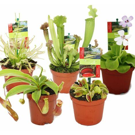 """main image of """"Kit de démarrage Plantes carnivores - 5 plantes"""""""