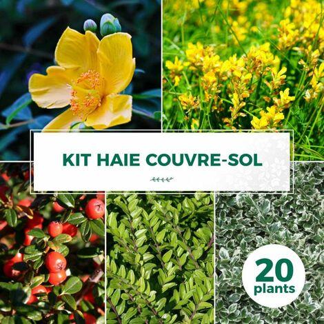 Kit Haie Couvre Sol - 20 Jeunes Plants -