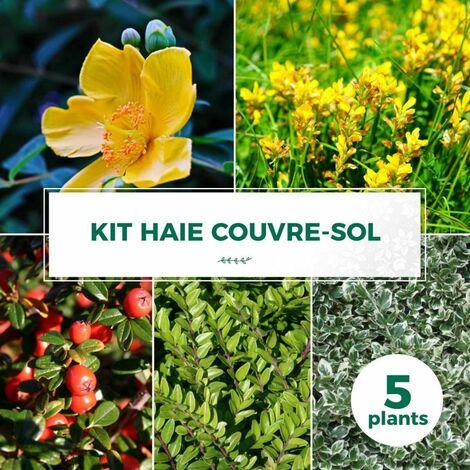 Kit Haie Couvre Sol - 5 Jeunes Plants -