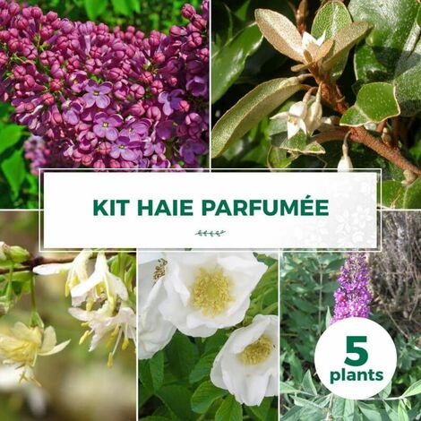 Kit Haie Parfumée - 5 Jeunes Plants -