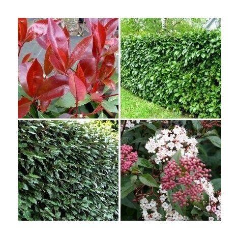 Kit Haie Persistante Rustique et Fleurie - Lot de 44 arbustes en pot de 1litre : 11 Lauriers du Caucase + 11 Eleagnus + 11 Photinia Red + 11 Laurier tin (plants de 30cm ramifiés)