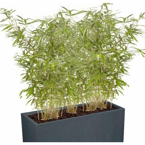 Kit plantation Bambou Haie Brise vue balcon terrasse : 2 Fargesia rufa 80/90cm en pot de 10L + jardiniere et terreau