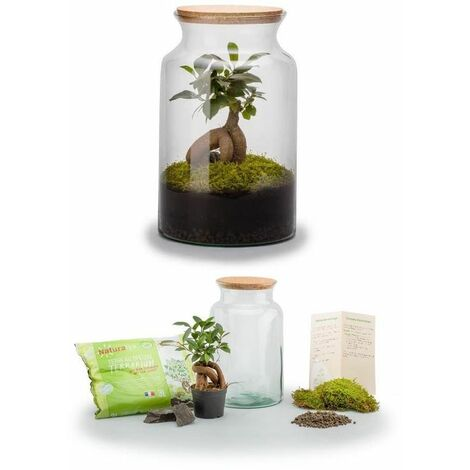 Kit terrarium plantes Jungle Ginseng