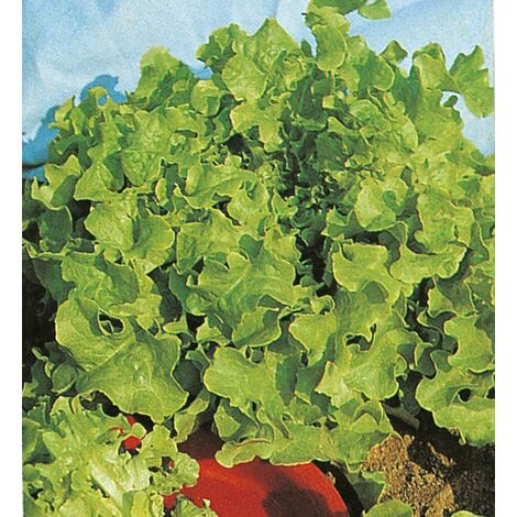 Laitue Feuille de Chêne Veredes - 0,3 g - GRAINES POTAGERES BIOLOGIQUES