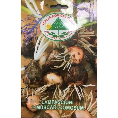 Lampascioni (Muscaricomosum) (Semente)