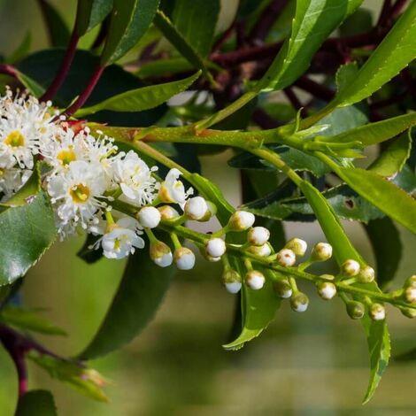 Laurier du Portugal (Prunus Lusitanica) - Godet - Taille 20/40cm
