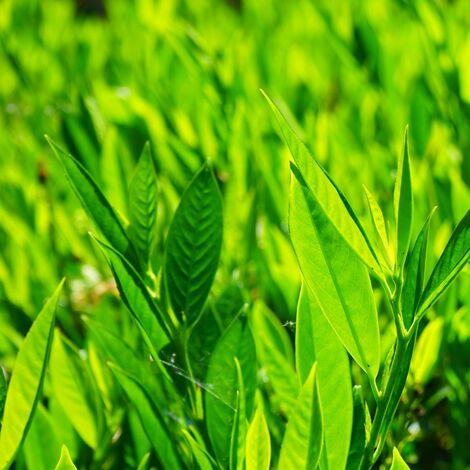 Laurier palme laurocerasus Mount Vernon | Pot de 3L - 20/40 cm