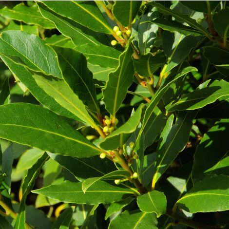 Laurus Nobilis Alloro Cespuglio Piante Aromatiche Siepe in vaso ø11 cm h.40/60 cm
