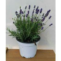 Lavanda piante aromatiche erbe pianta aromatica pianta di lavanda vaso 14cm