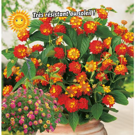 Les Lantanas - lot de 3 plantes en pot de ø 10 cm en mélange de coloris - Noir - Boutures Retombantes