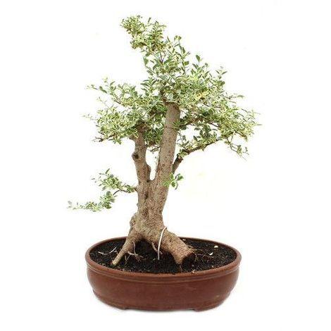 Ligustrum variegada - Bonsái - 21 años