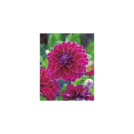 Lilac Time - Le bulbe - Dahlias Décoratifs