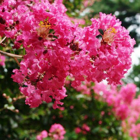 Lilas des Indes indica Mimie® Fuchsia 'DABLAGE01'