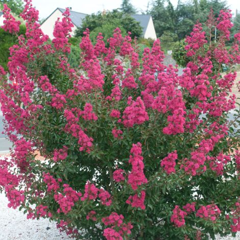 Lilas des Indes indica Petite Red | Godet - 5/20 cm