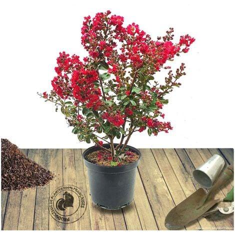 Lilas des Indes indica Rose Indien | Pot de 10L - 60/80 cm