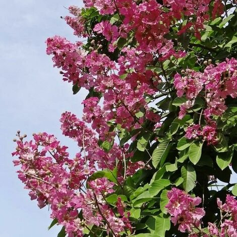 Lilas des Indes 'Petite Red' (Lagerstroemia Indica) - Godet - Taille 15/30cm