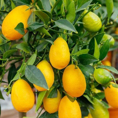 Limequat - Maceta de 20cm