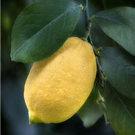 Limone lunario (Limone Quattro Stagioni) [Vaso Ø18cm]