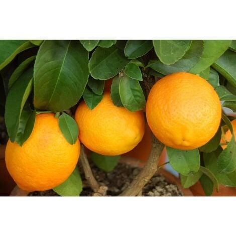 Limone Rosso Cespuglio