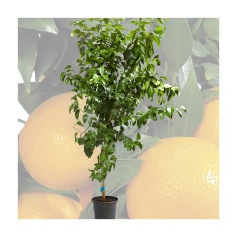 Limonero -Cont.26cm