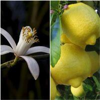 Limonero Eureka. Lunero, Produce Limones Varias Veces al Año. 110 Cm