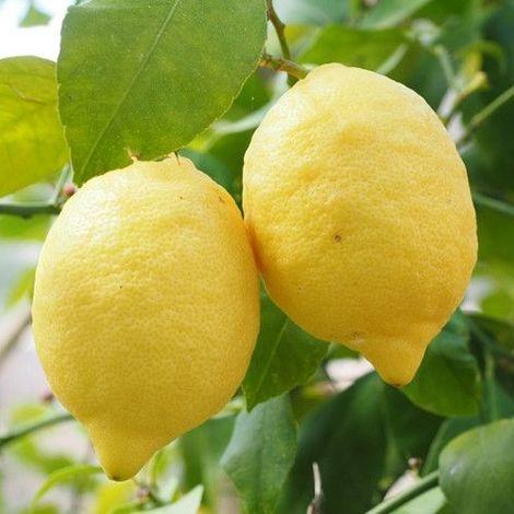 Limonero - Maceta de 22cm