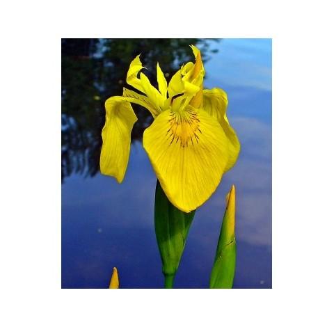 Lirio de Agua, Iris Pseudacorus. 25 - 30 Cm