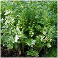 Livèche - Levisticum officinalis - Pot de 1,5L (diamètre 15cm)