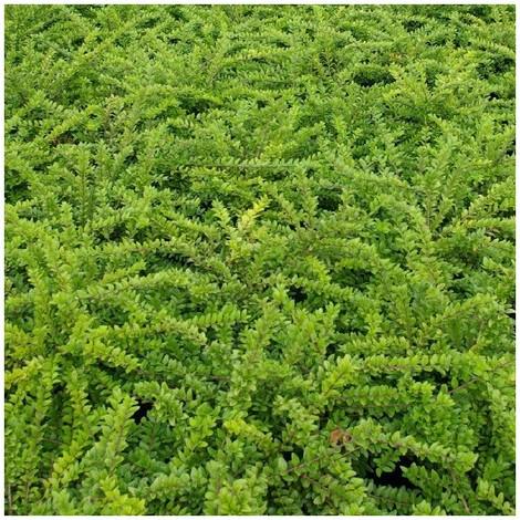 Arbustro ornamental