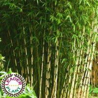 Lot de 11 bambous fargesia robusta campbell en pot de 1 litre (40/60cm de haut)