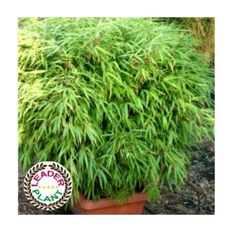 Lot de 11 bambous Fargesia Rufa en pot de 4 litres (60/70cm de haut)