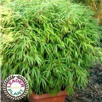 Lot de 11 bambous Fargesia Rufa en pot de 4 litres (80/100cm de haut)